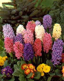 Hyacinth15