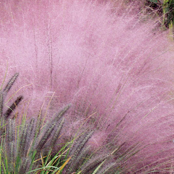 Pink mulhy grass gardenwise blog for Ornamental grass with red flowers