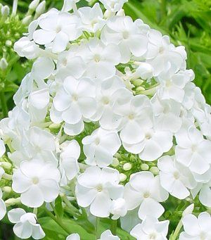 Curb appeal flowers gardenwise blog sweetly scented refined pure white flowers that are disease resistant so you wont have to deal with that powdery mildew mess you sometimes get with mightylinksfo